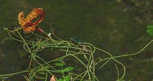 Reclinación de la libélula almacen de metraje de vídeo