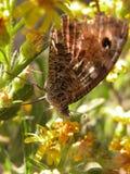 Reclinación de la mariposa Imagen de archivo libre de regalías