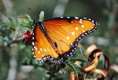 Reclinación de la mariposa de monarca fotografía de archivo