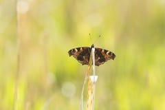 Reclinación de la mariposa de pavo real Imagen de archivo
