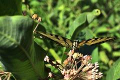 Reclinación de la mariposa de Swallowtail del tigre Imágenes de archivo libres de regalías