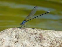 Reclinación de la mosca del dragón fotografía de archivo