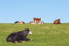 Reclinación de la vaca y de los becerros Fotos de archivo