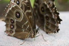 Reclinación de las mariposas Foto de archivo libre de regalías