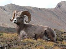 Reclinación de las ovejas de Bighorn Imagen de archivo