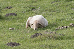 Reclinación de las ovejas de Latxa fotos de archivo libres de regalías
