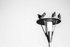 Reclinación de las palomas Imágenes de archivo libres de regalías