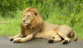 Reclinación de Leo del Panthera Fotos de archivo libres de regalías