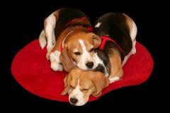 Reclinación de los beagles Imagenes de archivo