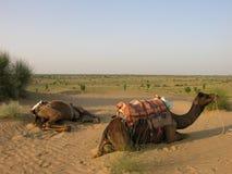 Reclinación de los camellos Imagen de archivo libre de regalías
