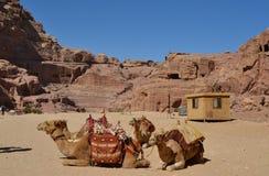 Reclinación de los camellos Imágenes de archivo libres de regalías