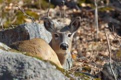 Reclinación de los ciervos Fotografía de archivo libre de regalías