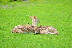 Reclinación de los ciervos del becerro del bebé Fotos de archivo