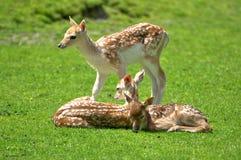 Reclinación de los ciervos del becerro del bebé Imagenes de archivo