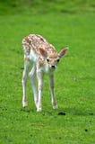 Reclinación de los ciervos del becerro del bebé Fotos de archivo libres de regalías