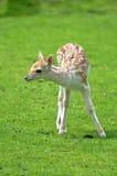 Reclinación de los ciervos del becerro del bebé Foto de archivo