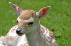 Reclinación de los ciervos del becerro del bebé Fotografía de archivo
