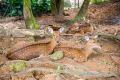 Reclinación de los ciervos en barbecho Fotos de archivo