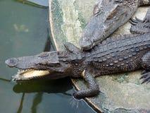 Reclinación de los cocodrilos Foto de archivo libre de regalías