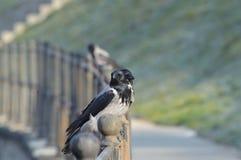 Reclinación de los cuervos Foto de archivo