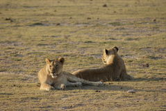 Reclinación de los leones Imagen de archivo