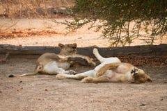 Reclinación de los leones Imagenes de archivo
