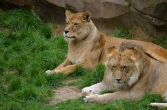 Reclinación de los leones Foto de archivo