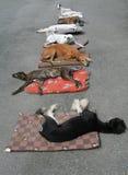 Reclinación de los perros Foto de archivo
