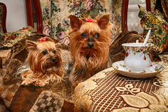 reclinación de los perros de Yorkshire Imagenes de archivo