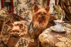 reclinación de los perros de Yorkshire Imagen de archivo libre de regalías