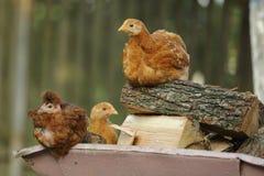 Reclinación de los pollos foto de archivo