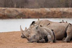 Reclinación de los rinocerontes Fotos de archivo