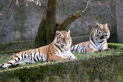 Reclinación de los tigres Imagenes de archivo