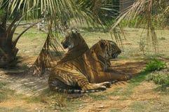 Reclinación de los tigres Foto de archivo