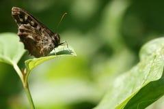 Reclinación de madera manchada de la mariposa Fotos de archivo