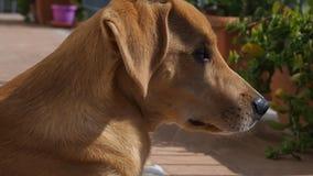 Reclinación de oro del aire libre del perrito