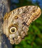Reclinación de Owl Moth Imágenes de archivo libres de regalías