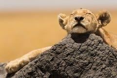 Reclinación del cachorro de león fotografía de archivo libre de regalías