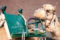 Reclinación del camello Imagen de archivo libre de regalías