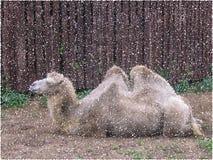 Reclinación del camello Ejemplo colorido del vector ilustración del vector