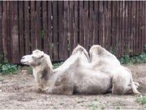 Reclinación del camello Ejemplo colorido del vector libre illustration