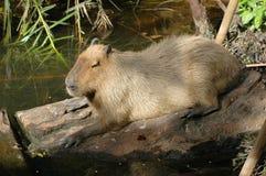 Reclinación del Capybara   Fotos de archivo libres de regalías