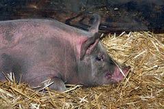 Reclinación del cerdo Foto de archivo libre de regalías