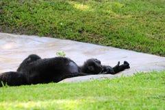 Reclinación del chimpancé Imagen de archivo libre de regalías