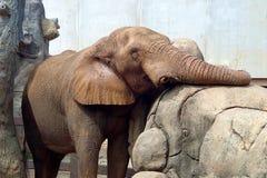 Reclinación del elefante Imagen de archivo