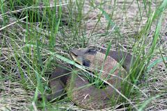 Reclinación del este de la serpiente de Hognose foto de archivo