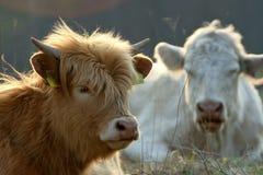Reclinación del ganado Fotos de archivo libres de regalías