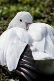 Reclinación del ganso de nieve Fotos de archivo libres de regalías