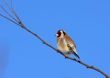 Reclinación del Goldfinch Fotografía de archivo