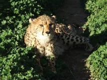 Reclinación del guepardo Fotografía de archivo